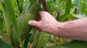 Maize is  a good size